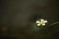 清流に咲く - 感動模写Ⅲ