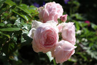 オリビアローズオースチン2019 - my small garden~sugar plum~