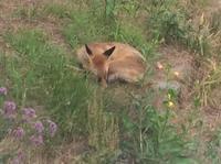 庭のキツネさん - ダイアリー