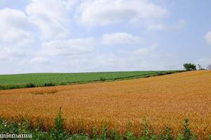色づく麦の畑~7月の美瑛 -