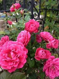 雨上がりの今朝の花 - Rose&Farm