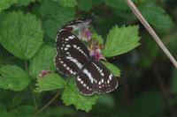 雨と霧の中で - 蝶と蜻蛉の撮影日記