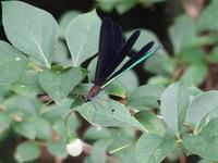 ハグロトンボ - Magnolia Lane