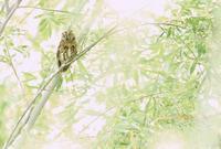 コノハズク - 北の野鳥たち