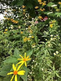 遊歩道で見かける夏の花々in東海岸 - E*N*JOY