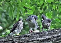 ツミ親子3羽が揃いました。 - バードカラー