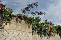 雲が美しい水曜日、咲いてきた庭の外から見えるつるバラたち(5月22日) - Reon with LR & Roses