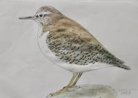 #野鳥スケッチ #ネイチャー・ジャーナル 『磯鷸』 Actitis hypoleucos - スケッチ感察ノート (Nature journal)