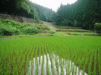 米作りの挑戦(2019)田植え後1ヶ月の様子昨年の反省を生かし工夫しました - FLCパートナーズストア