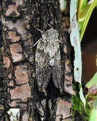 奈良盆地周遊ウォーク06飛鳥~葛カブトエビとムネアカオオクロテントウ - 自然の写真帖