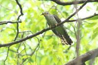 ホトトギスの続き - 近隣の野鳥を探して