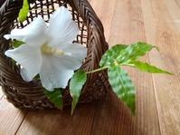 白い花をともす… - 侘助つれづれ