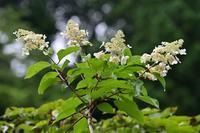 ノリウツギ - 野の花山の花ウォッチング in 奥多摩