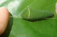 アオスジアゲハの幼虫Graphium sarpedon - 写ればおっけー。コンデジで虫写真