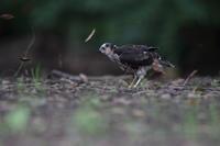 ツミ幼鳥 ③ 一触即発/キジバト子育て ③ 立ちはだかる親 - 気まぐれ野鳥写真