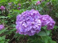 紫陽花の花言葉イロイロ - イタリアワインのこころ