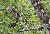 ホトトギスさん②・・・エサを求めて - 鳥と共に日々是好日