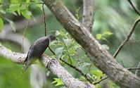 ホトトギスの捕食姿&森の風景 - 鳥と共に日々是好日