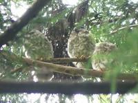 アオバズクのヒナ巣立ち・・・湯殿川 - 浅川野鳥散歩