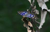 オオムラサキ2:国蝶/参院選を終えて - 赤いガーベラつれづれの記