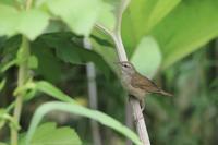 Gray's Grasshopper Warbler - 残しておきたい一枚・・・