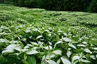 半夏生奈良県 - ty4834 四季の写真Ⅱ