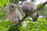 協力的なフクロウ。 - 季節の野鳥~Wildbirds archives