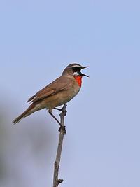 定番ノゴマ。 - 季節の野鳥~Wildbirds archives