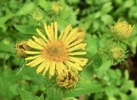 #キク科 『小車』 Inula britannica subsp. japonica - 自然感察 *nature feeling*