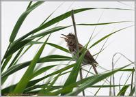 オオヨシキリ相変わらずの自己主張 - 野鳥の素顔 <野鳥と日々の出来事>