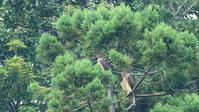 松に大鷹二羽 - Life with Birds 3