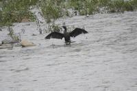 カワウ 大和川 大阪府内 2019年7月中旬 - 大和川野鳥撮影日記 大阪府内限定  鳥達の勝手気ままな生活を撮影  絶好の場面を期待し、通っています