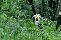 ■梅雨明け頃の草花 3種19.7.20(ヤマユリ、コバノカモメヅル、アキノタムラソウ) - 舞岡公園の自然2