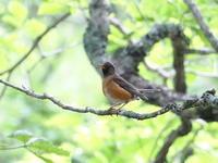 日没後にアカハラを撮影 - コーヒー党の野鳥と自然 パート2