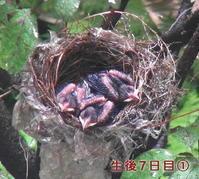 鳥さんの子育て生後7日目~8日目。 - ARTY NOEL