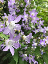 7月に咲く青と白の花 - Bleu Belle Fleur☆ブルーベルフルール