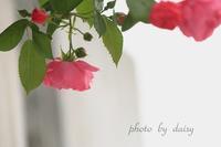 薔薇の時期 - ロマンティックフォト北海道☆カヌードデバーチョ