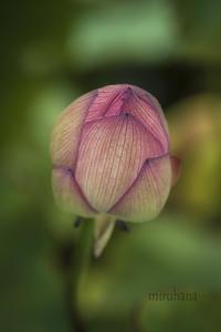 花菜ガーデンの蓮 - MIRU'S PHOTO