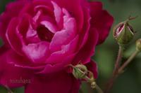 薔薇の轍(わだち)*花菜ガーデン - MIRU'S PHOTO