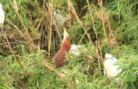 雨の中を飛ぶ - barbersanの野鳥観察