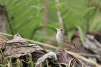 Lanceolated Grasshopper Warbler - 残しておきたい一枚・・・