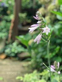 涼しげに咲いています。 - 小さな庭 2
