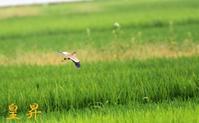 田んぼに餌を捕りに、、対面からトンボが飛んで来た。誠 - 皇 昇