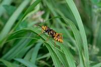 ■トラカミキリ 2種19.7.21(トラフカミキリ、ヨツスジトラカミキリ) - 舞岡公園の自然2