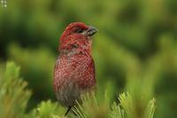 今年は近かったぁ!ギンザンマシコ - 野鳥公園