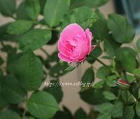 小さな2番花の薔薇たち~ - miyorinの秘密のお庭