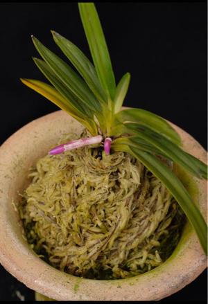 栽培環境で -  ■ サムライ オーキッド ■    富貴蘭 セレクトショップ             MAIL samuraittt@gmail.com