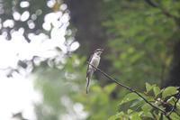 サンショウクイ - 白鳥賛歌