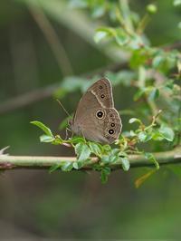 クロヒカゲモドキの開翅 - 蝶超天国
