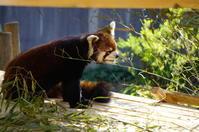 レッサーパンダを見つめる。。。♪ - Let's Enjoy Everyday!